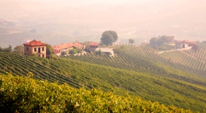 Vineyards of Piedmont, Italy.